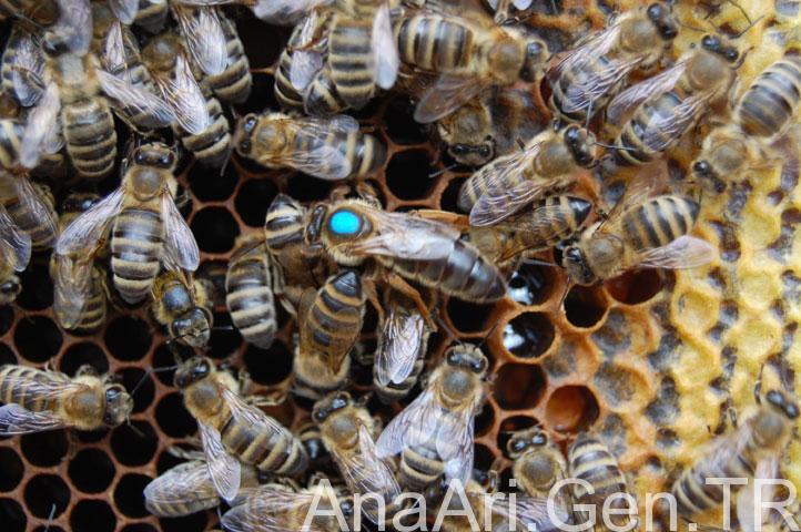 f1 karniyol ana arı