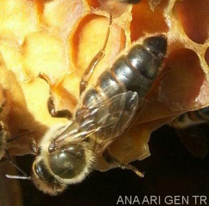 sakin arı ırkı 1