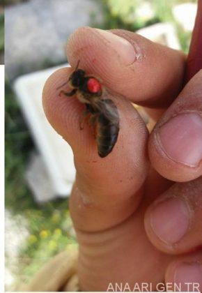 sakin arı ırkı 3