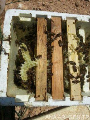 sakin arı ırkı 4
