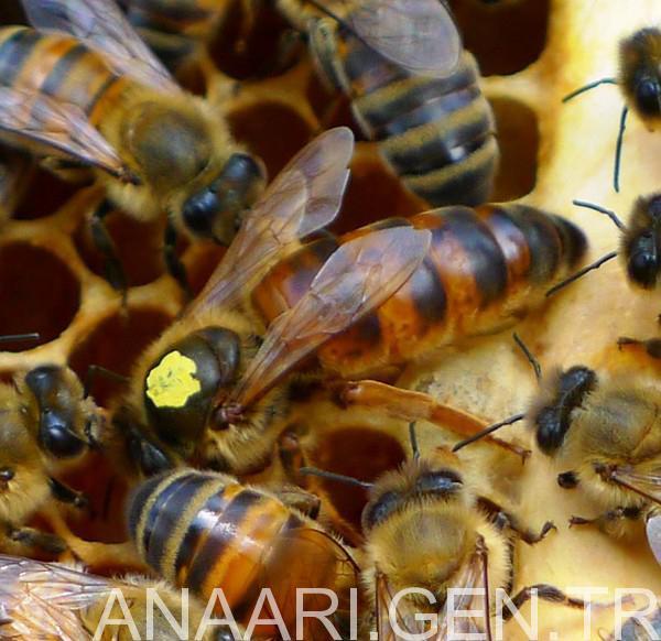 2017 ana arı satışı