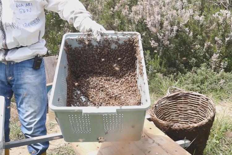 arı oğul satışı