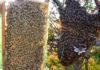 arı oğulu satışı