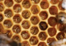 yalancı ana arı
