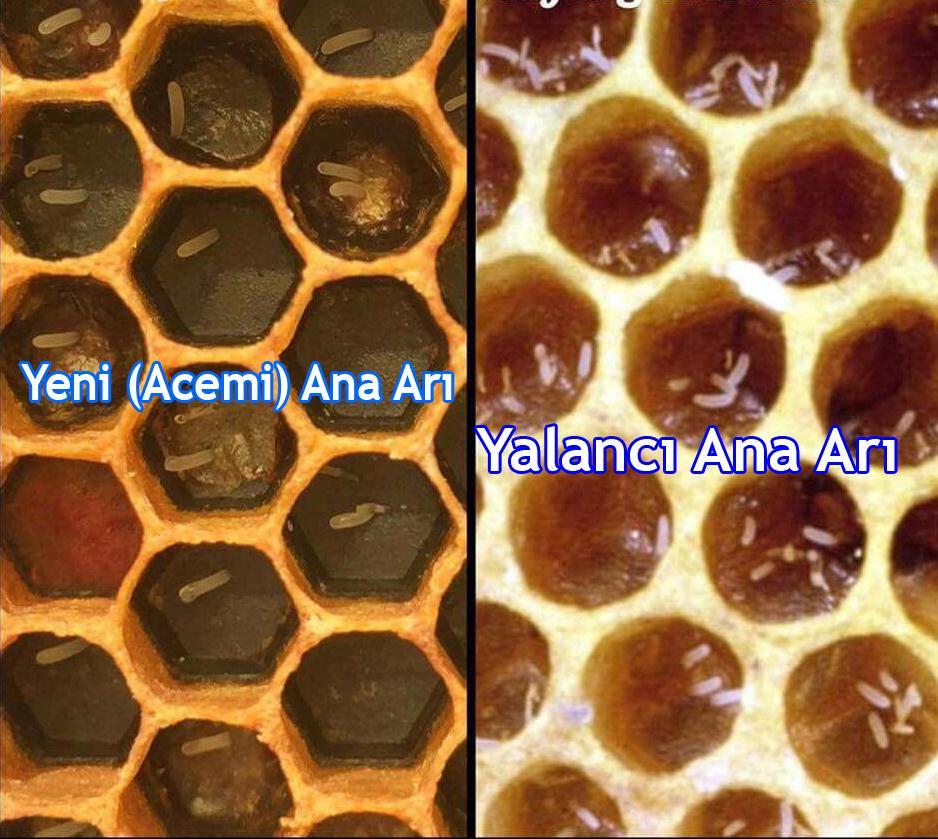 yeni ana arı ile yalancı ana arı farkı