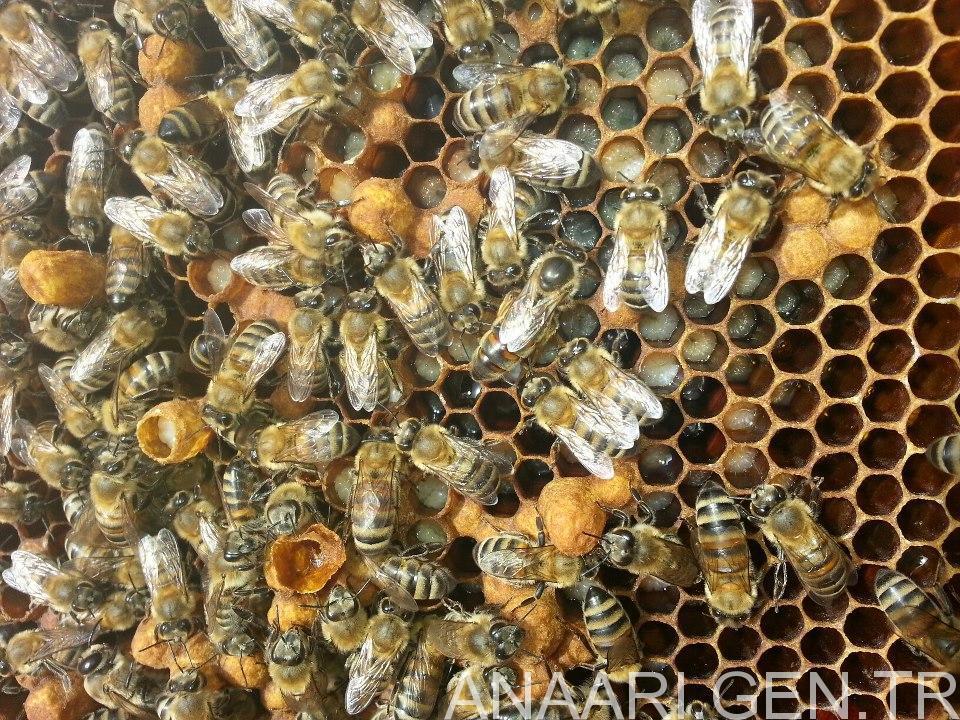 melez karniyol ana arı
