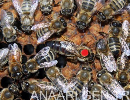 2018 ana arı rengi 1