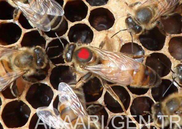 2018 ana arı rengi 2