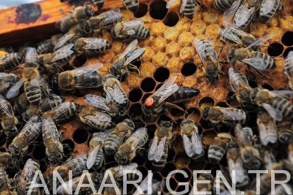 2018 ana arı rengi 3