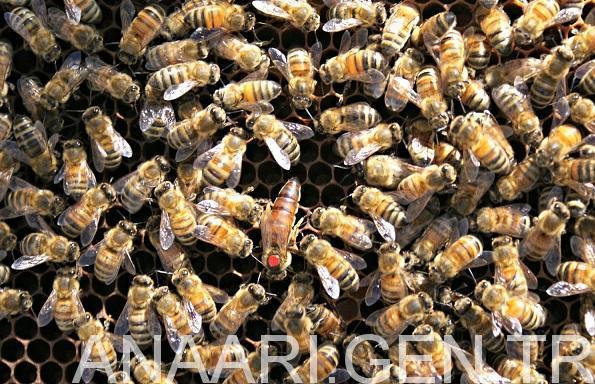 2018 ana arı fiyatları 1