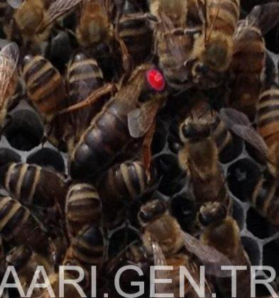 2018 ana arı fiyatları 2