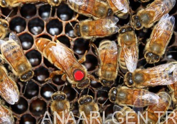 2018 ana arı satışı 2