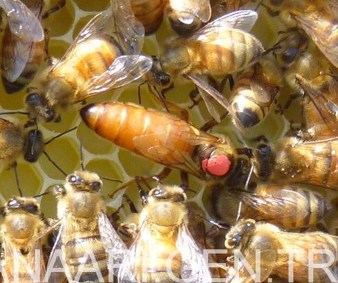 2018 Ana Arı Satışı