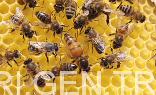 muğla arısı 1
