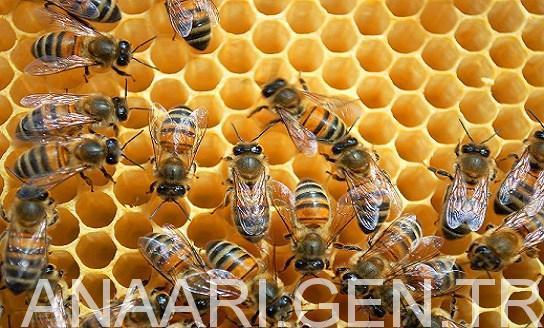 muğla arısı 3
