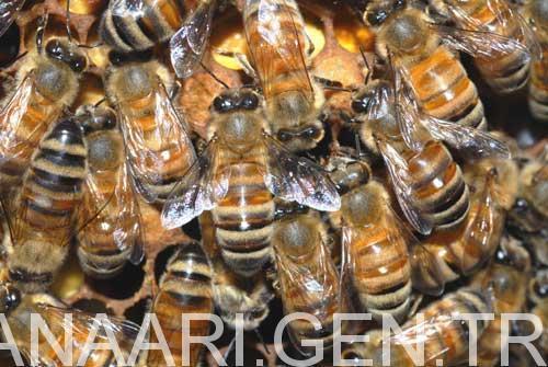 muğla arısı 4