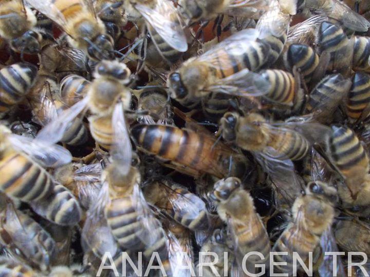 2018 Ana Arı Kampanyası