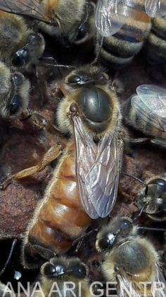 ana arı değiştirme zamanı 1