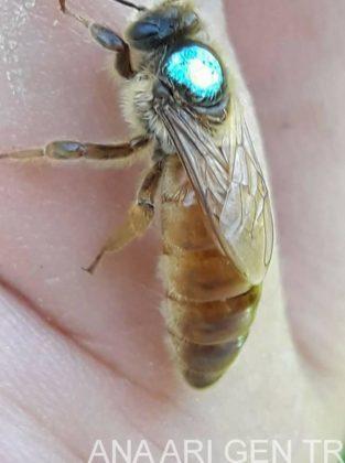 ana arı değiştirme zamanı 2