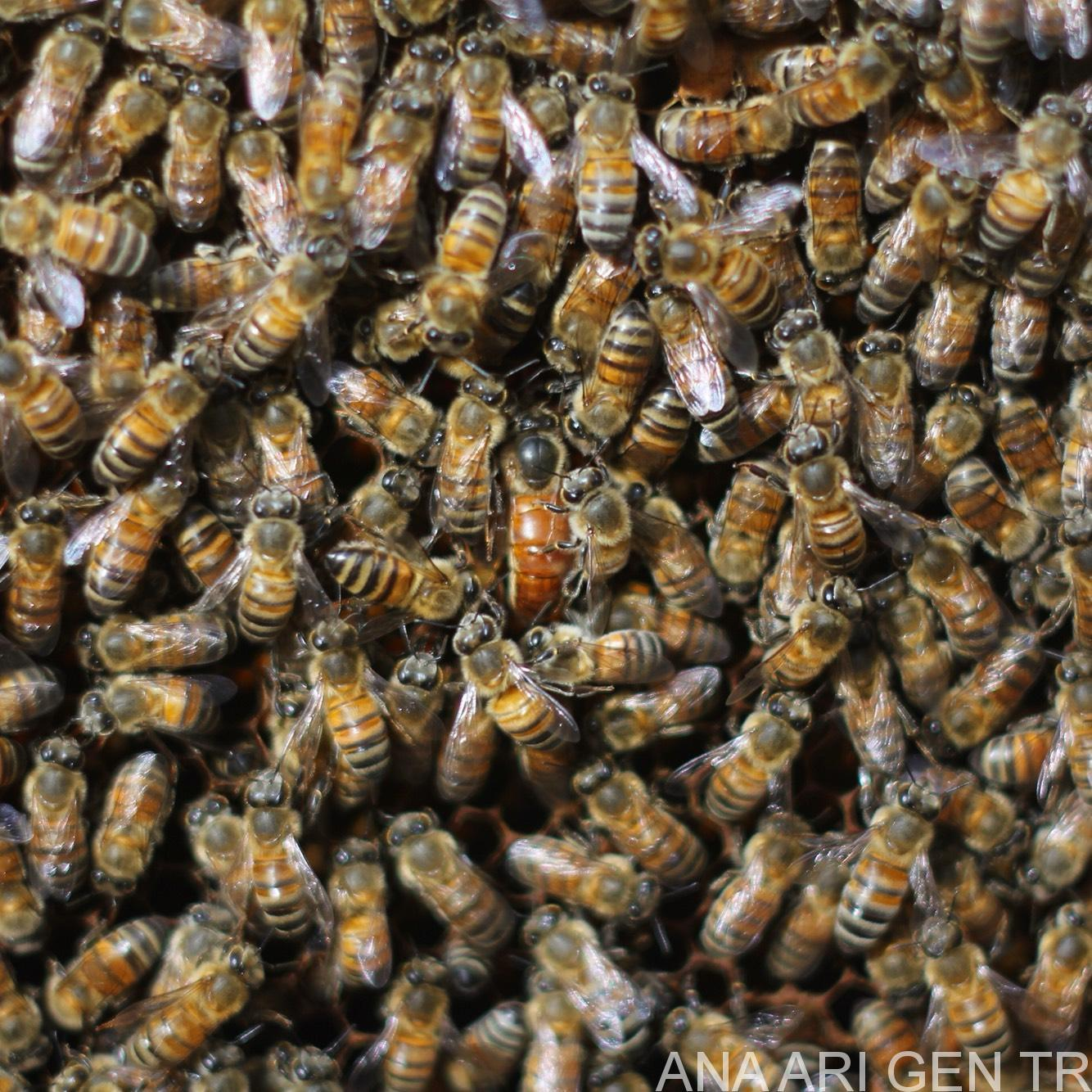 Ana Arı Değiştirme Zamanı