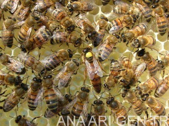 ana arı değiştirme zamanı 4