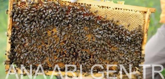 arı satışı sahibinden 4