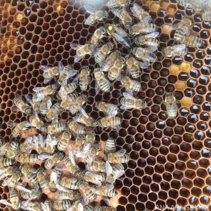 karpat ana arı 3