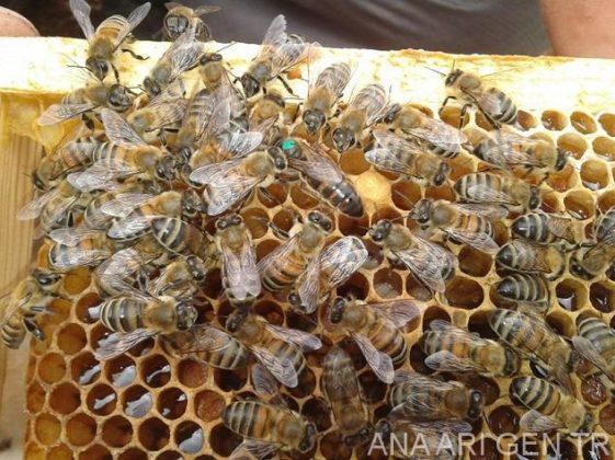 2019 yılı ana arı rengi 1