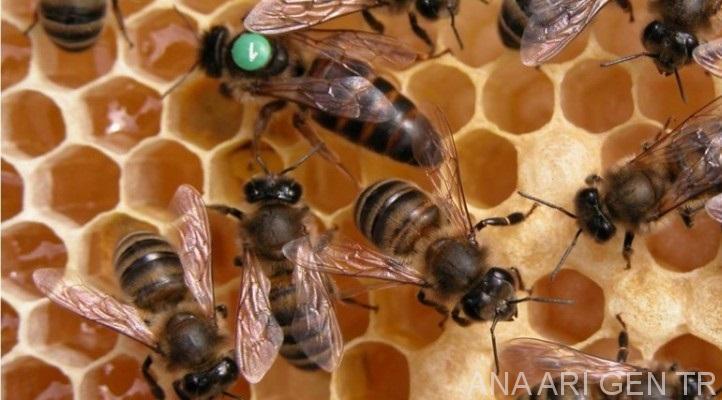 2019 yılı ana arı rengi 4