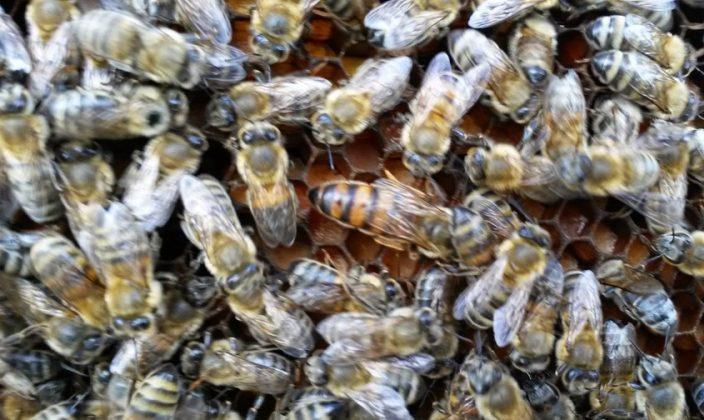 trakya arı irkı 1