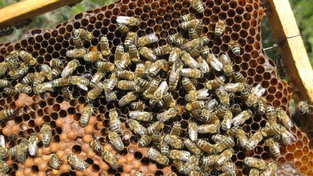 trakya arısı