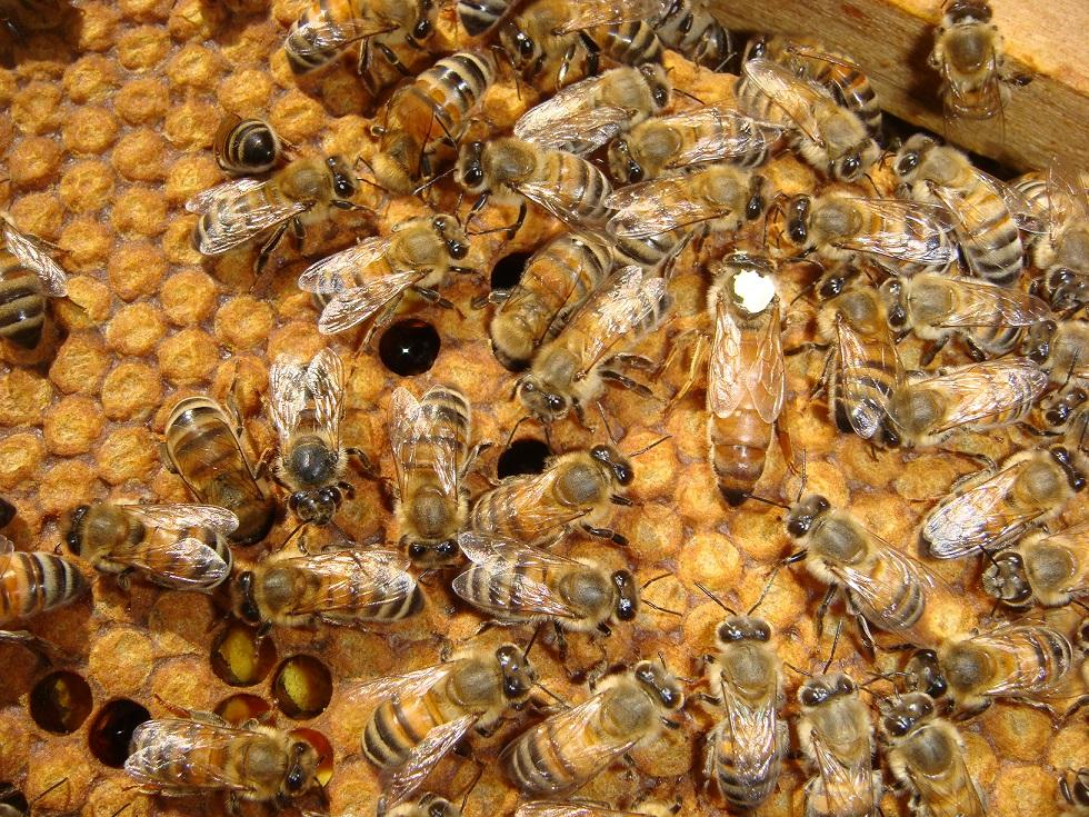 belfast ana arının özellikleri 2