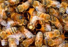 belfast ana arının özellikleri