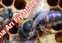 Ana arı fiyatları