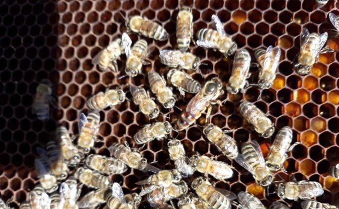 efe ana arı 1