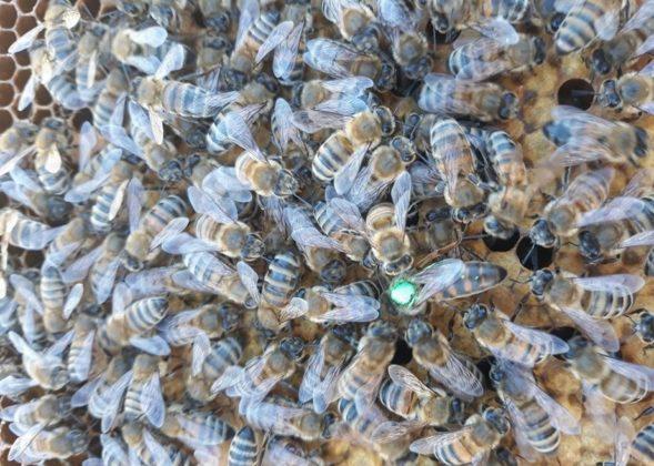 efe ana arı 3