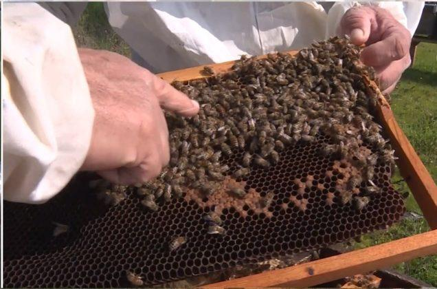 efe ana arısı 4