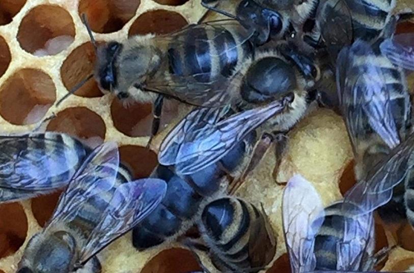 yeni başlayanlar için ana arı