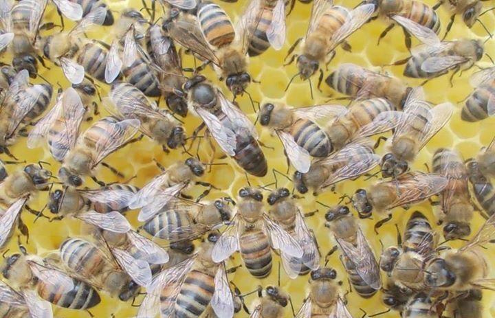 anadolu arısı 2