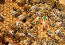 2019 yılı ana arı desteklemesi