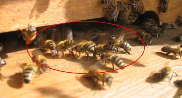 Bir kovanda ana arı yoksa o kovanın varlığından söz etmek yanlış olur. Ana arı olmazsa ne olur ve kovanı durumu hakkında gerekli bilgilendirmeler yapacağız. Bu yüzden dolayı anasız koloniler konusunda daha dikkatli olarak zamanında tedbir almanız gerekiyor. Arılar uçma deliğinin önünde heyecanlı ve stresli bir şekilde sağa ve sola doğru hareket ederler. Analı kovan ile anasız bir kovanı yan yana koyduğunuz zaman ikisi arasındaki sesinden de anlaşılır. Anasız arı kovanı daha çok vızıltılı ve fazla ses çıkarır. Kovanın kontrolü aşamasında kovanı üstten açıp kontrol ettiğinizde arılar çerçeve üzerlerinde arkalarını yukarıya kaldırarak hızlı hızlı kanat çarparlar. Anasız olanın anlamak için normal analı kovanda anası olan çerçeveyi bir köşeye alın diğer tarafta kalan işçi arılar analı çerçeveye gitmek için hummalı bir şekilde hücum ederler. Kovanın kontrol esnasından çerçeveleri kontrol ederken işçi arılar sağa sola dağılır gider ve çerçeve üzerinde işçi arılar düzgün bir şekilde gezmiyorsa yine ana arının olmadığına işarettir. Aynı zamanda bu şekilde kontrol esnasında arıları ağlamaklı bir şekilde seslerin sürekli olduğu görülmektedir. Anası olan kovanda işçi günlük düzenli polen akışını sağlarlar ve kovan önünde durduğunuz zaman bu durumu görebilirsiniz. Eğer kovanda ana arı olmadığı zaman arılarda ana arı yoksa biz niye çalışıyoruz edasıyla çalışma işini bırakırlar. Kovanda kapalı ve açık yavru yoksa ana arı olmadığı anlamına gelir tabi bu yavru olmama durumu zamana göre değişebilir. Kış mevsiminde olmayabilir eğer tam böyle arıların gelişim zamanında yoksa yavru bilin ki o kovanda ana arı faaliyeti durmuş demektir. Kovan önünde genel olarak nöbetçi arılar vardır. Bu arılar kovana önüne gelen arıyı kontrol edip içeri salar eğer kovanda ana arı yoksa bu görevi yapacak olan arılar kovan önünde bulunmazlar. Kovanın dışına vurulduğunda tiz bir sesi gelip kesiliyorsa sağlıklı yoksa vurduktan sonra ses sürekli şekilde geliyorsa o kovanda sağlıksız ve anası olmayabilir. Yuk