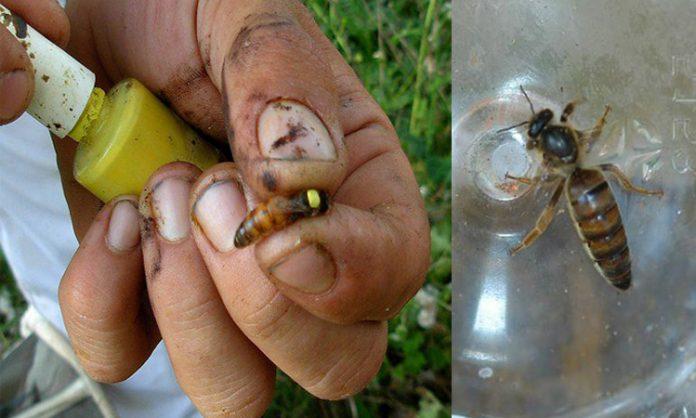 ana arı olmazsa ne olur