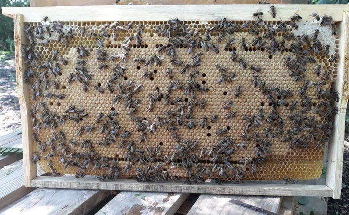 en verimli arı ırkı