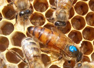 2020 yılı ana arı fiyatları