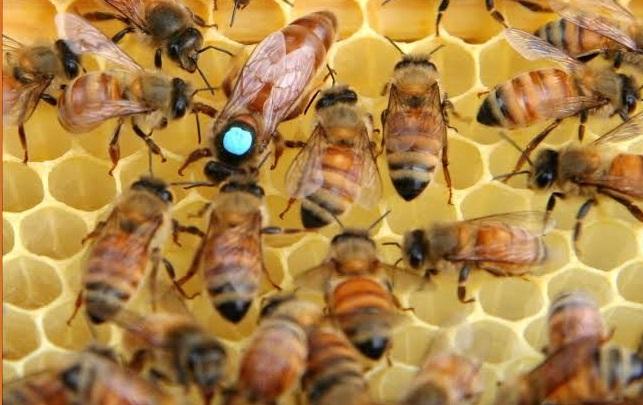 2020 ana arı siparişi 1