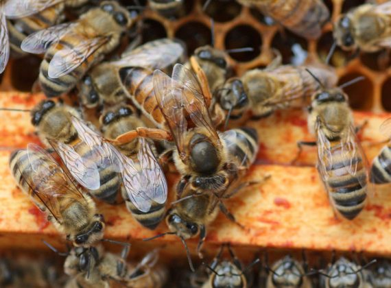 2020 ana arı siparişi 4