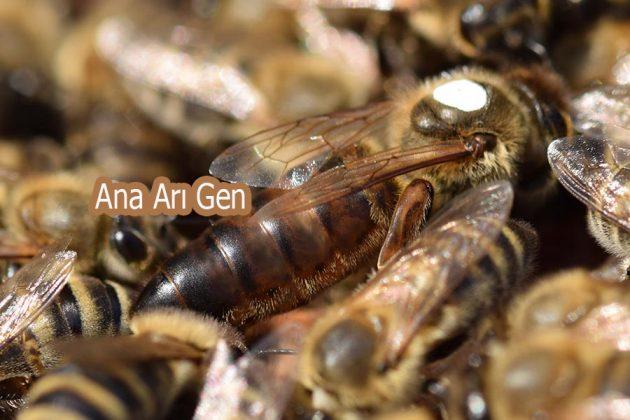 2021 ana arı rengi 1