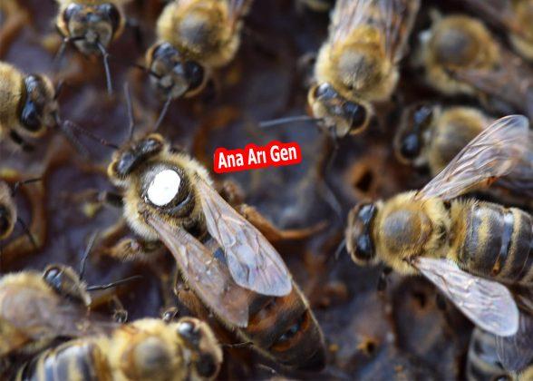 2021 ana arısı 2