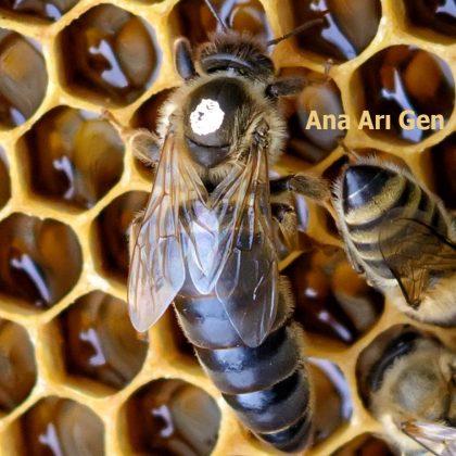2021 yılı ana arısı 1