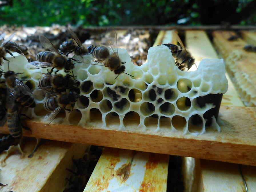 basit ana arı üretimi 1